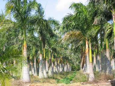 Royal Palms In A Palm Nursery On Pine Island Should Be Called For All Of The Nurseries Hundreds And Acres