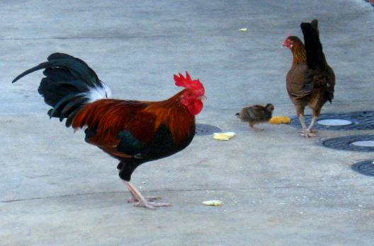 key west key west chicken3 jpg feral chickens of duval street key west ...