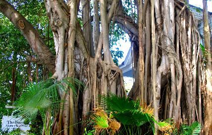 Banyan Tree At The Banyan Tree Resort In Key West