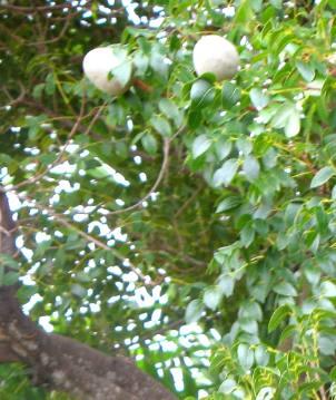Mahogany Fruit Or Nuts
