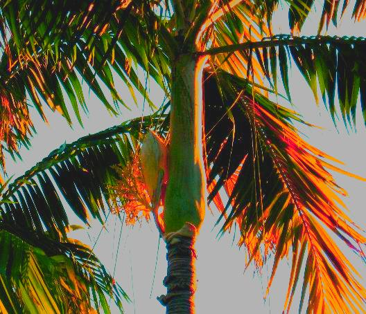 Royal Palm Bloom At Sunset