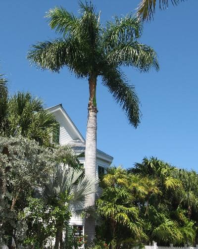 This Is A Fine Example Of The Beautiful Royal Palm