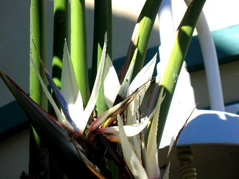 Giant white bird of paradise giant white bird of paradise plants are a showy plant mightylinksfo