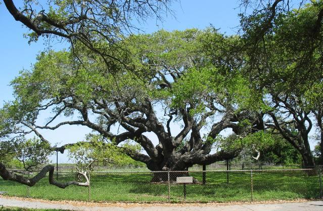 Texas Champion Live Oak