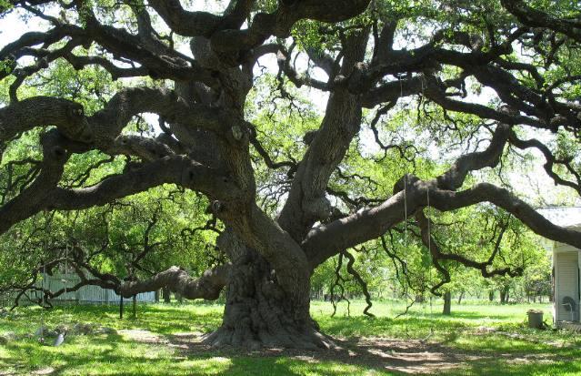 Planting live oak tree acorns : Examples of plant eukarya kingdoms life