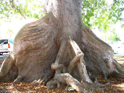 Silk Cotton Trees Silk Cotton or Kapok Tree