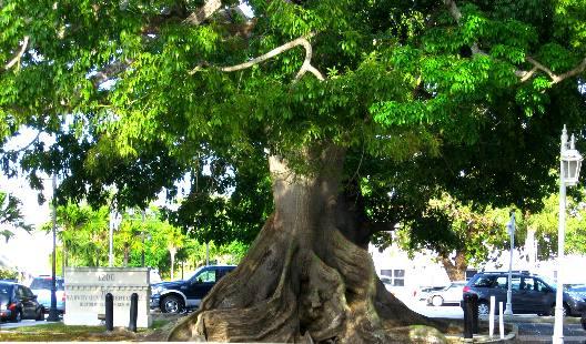 Kapok Or Silk Cotton Tree